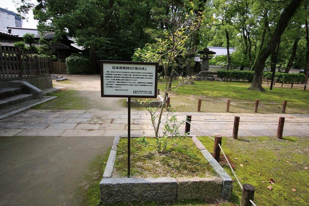 日本茶発祥の茶の木