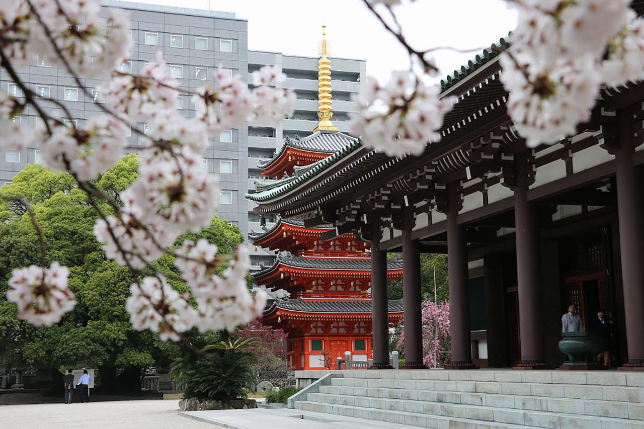東長寺の桜1