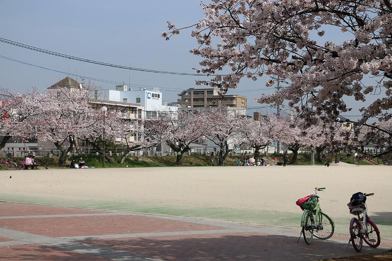 山王公園の桜3