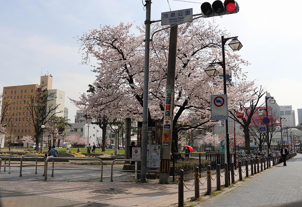 冷泉公園の桜2
