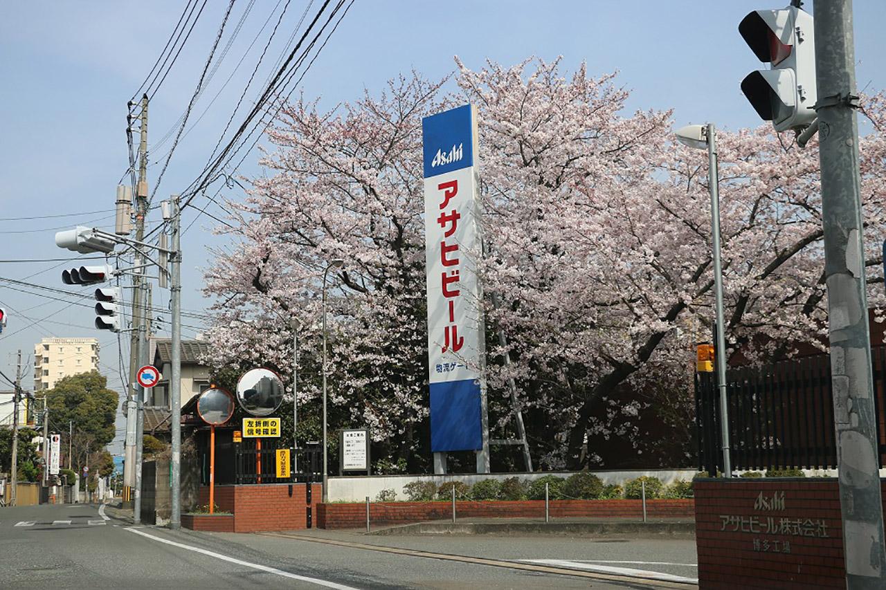 アサヒビール博多工場の桜