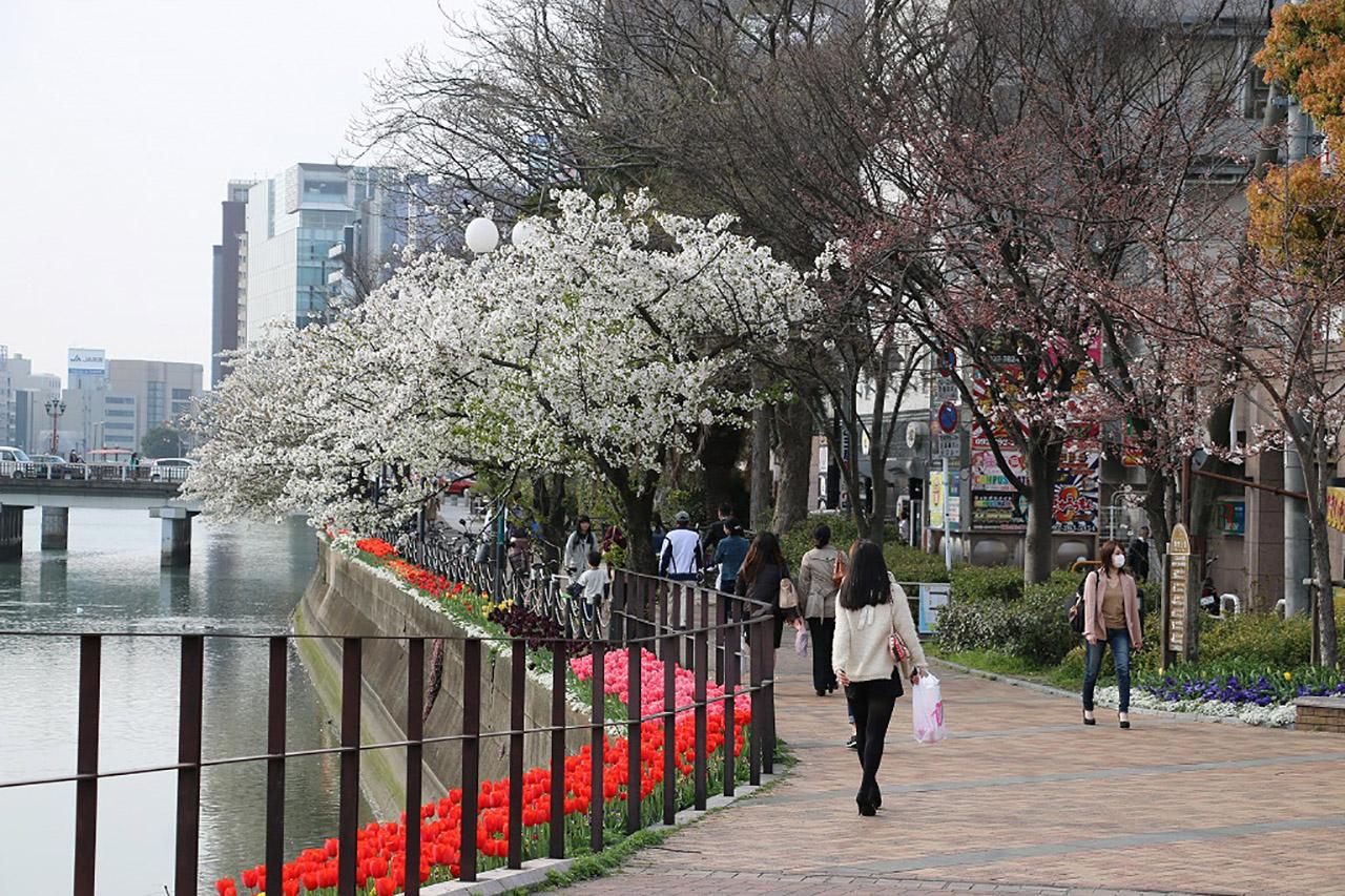 清流公園の桜2