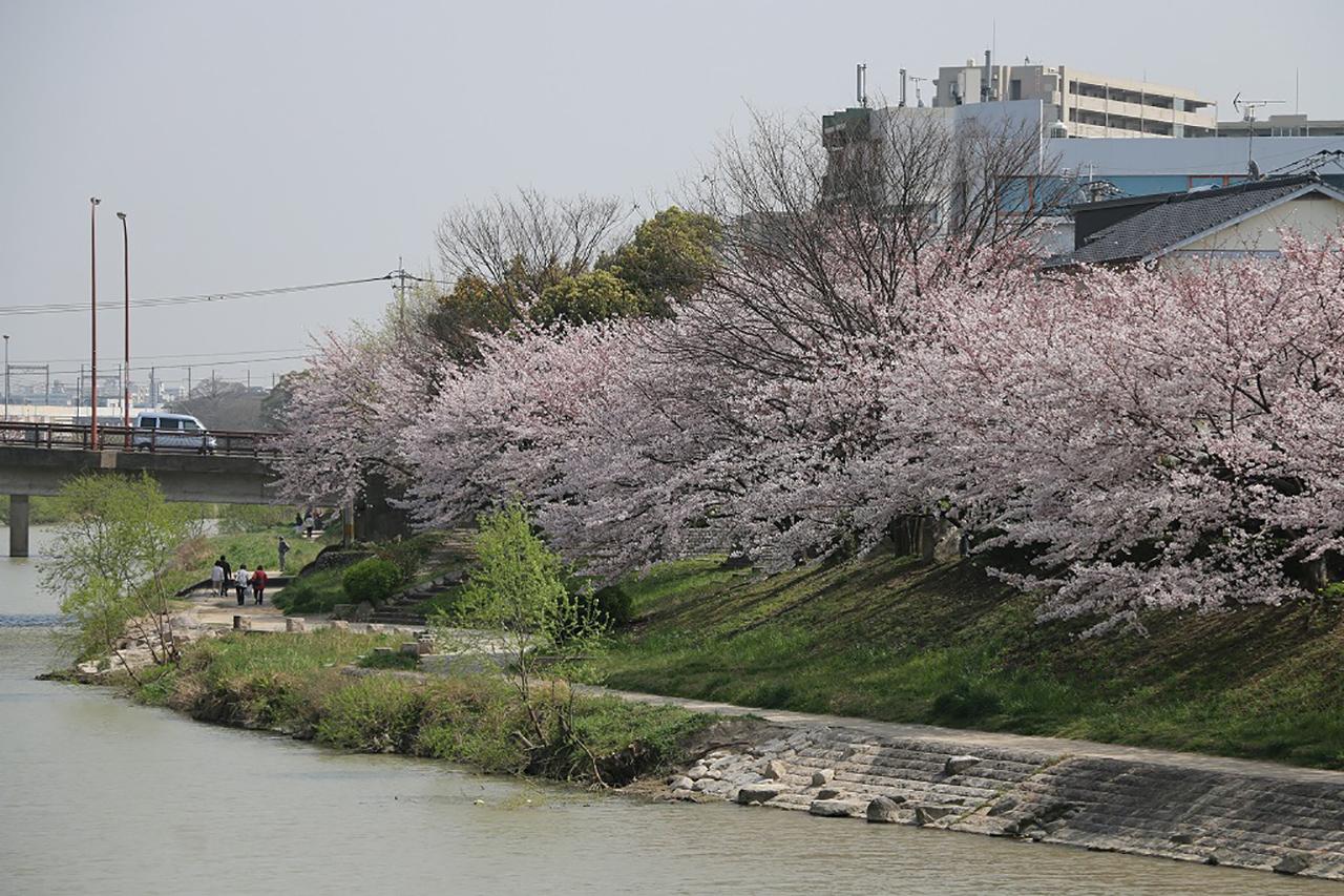美野島南公園の桜2