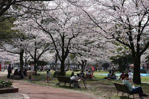 山王公園の桜1
